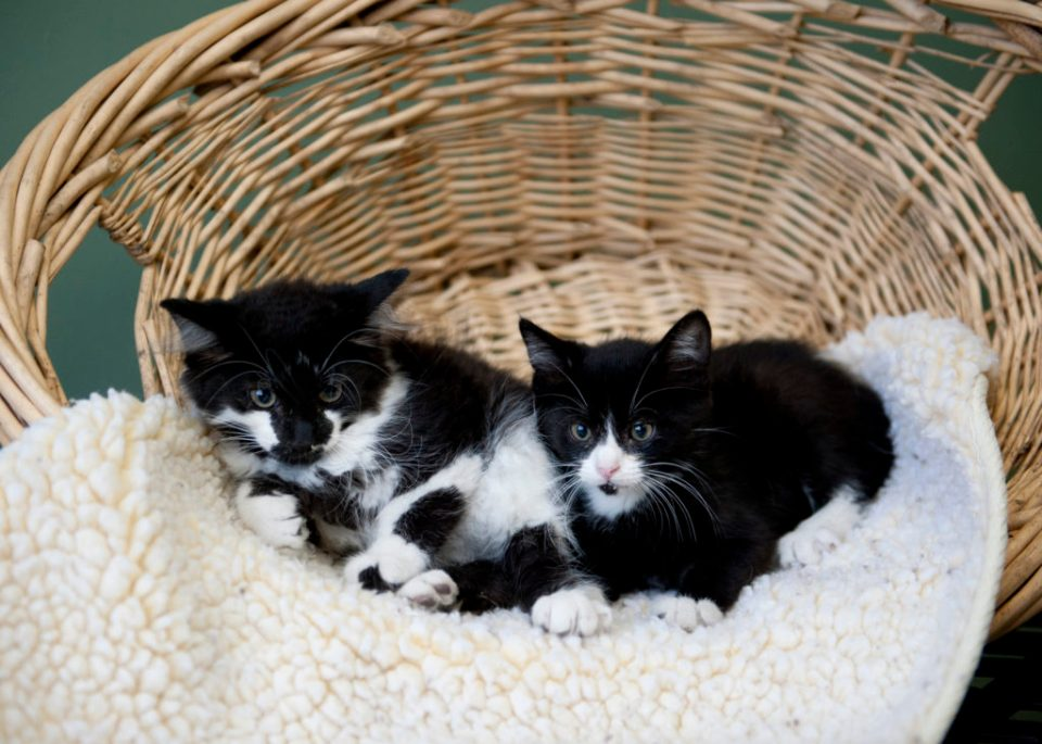 black and white kittens in a wicker basket