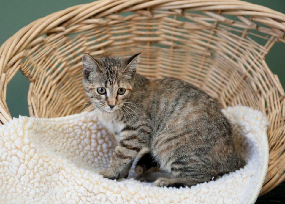 kitten in basket with blanket