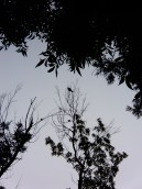 Here, we have a Mississippi Kite that decided to visit. This is as far as my camera zooms in, and the tall tree is on the far side of the lot next to us.
