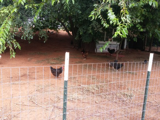 The huge chicken pen, across from the garden.