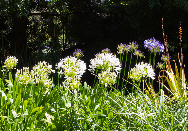 Attention! - Alium stand at attention in the mid-day sun.