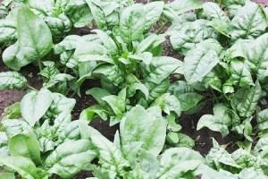 Spinach.rebelretirement.450