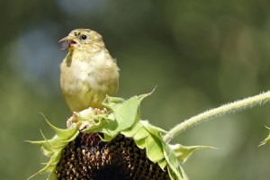 bird.sunflower.rebelretirement.450
