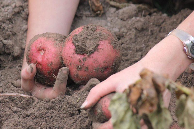 Digging Potatoes - Rebel Retirement