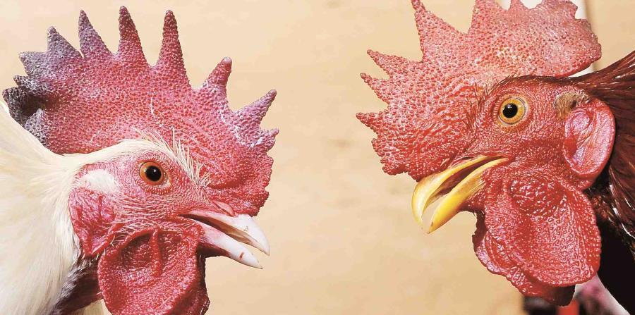 Los gallos de pelea estaban en el techo de la residencia. (GFR Media) (horizontal-x3)