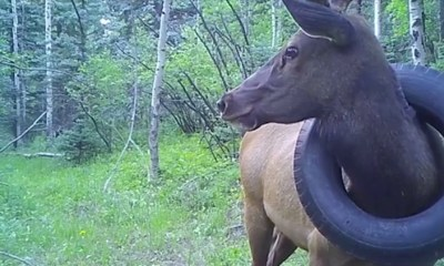 Tire stuck around Colorado elk's neck removed after 2 years
