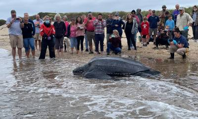 Cape Cod animal rescue: 600-pound turtle stranded in Wellfleet is saved