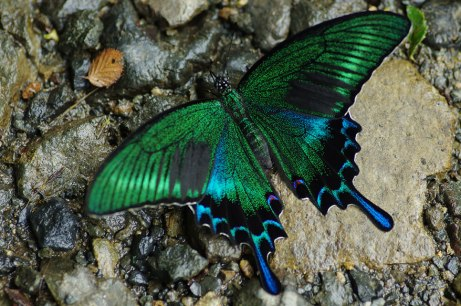 BlackSwallowtail2