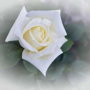 e7a7db55704b10f5842044165d3d8c04 - ▷ Rosa y mariposa 📖