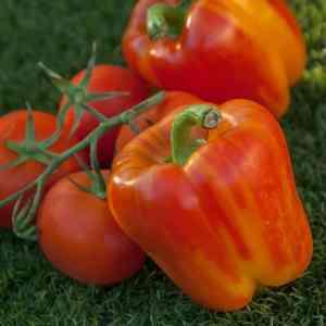 446f4fe6ef4f25b5f1cbd0e741da76b3 - ▷ Tomatera y pimentero 📖