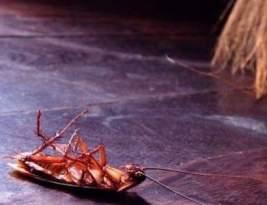 Comment se débarrasser des cafards ou blattes naturellement ?