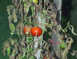 Comment protéger ses tomates contre le mildiou ?
