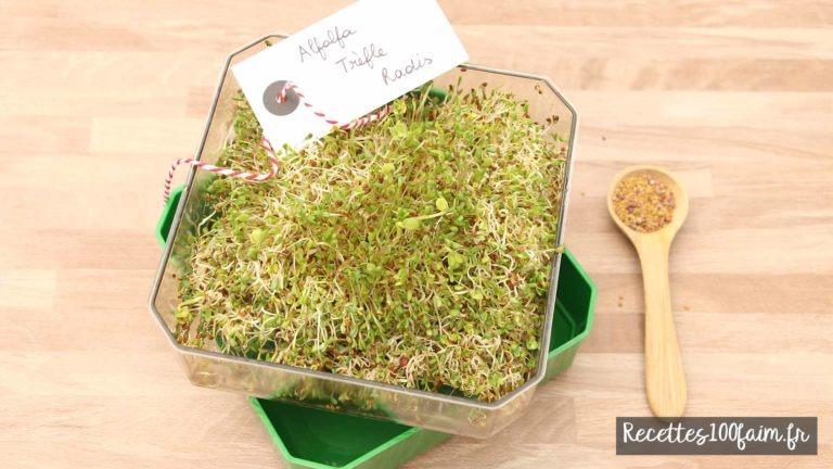 alfalfa radis trefle