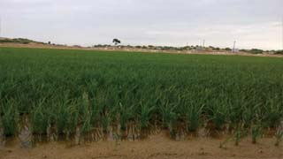 Desert rice cultivation for 35 days