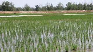Desert rice is grown for 20 days