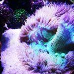 aquarium recifal et phyto