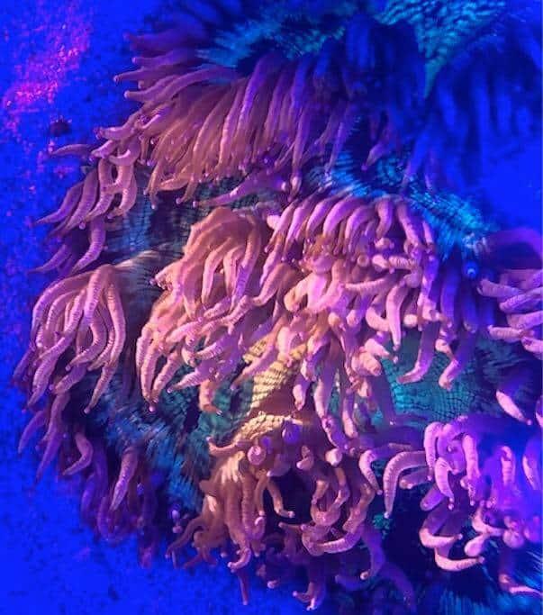Catalaphyllia Jardinei sous bleu aquarium