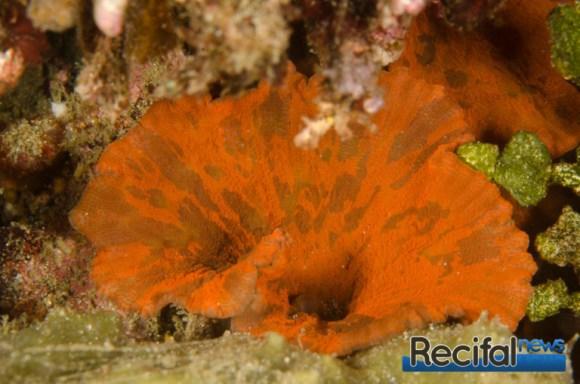 Une petite colonie de Discosoma sp rouge et vert après avoir nettoyé l'entrée de la cavité.