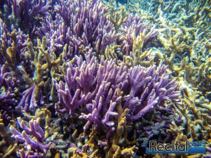 Montipora digitata peut être difficile à identifier car de nombreuse autres espèces lui ressemble. L'aspect de la surface là encore est ce qui va nous aider.