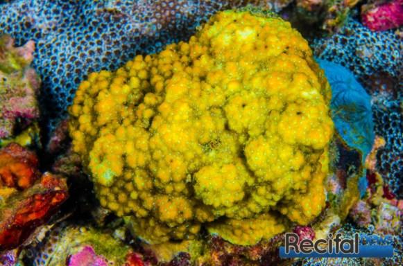 Magnifique M. cocosensis orange avec polypes verts.