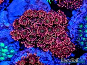 Goniopora classique du sud de la grande barrière sous lumières bleues en aquarium