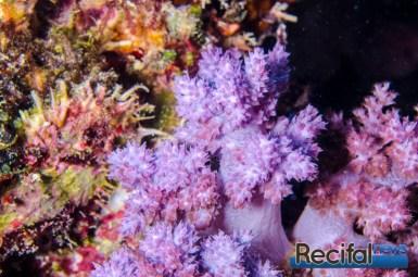 Avec les polypes fermés la coloration n'est pas aussi intense.