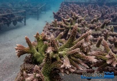 coraux indonésie