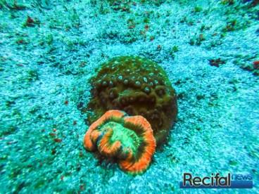 Un Trachyphyllia geoffroyi au fond d'une cuvette de sable au côté d'un Mycedium sp, et à une trentaine de mètres de profondeur.