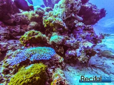 L'habitat classique d'Acropora lokani à 18 m de profondeur sur un récif du nord de Lombok.
