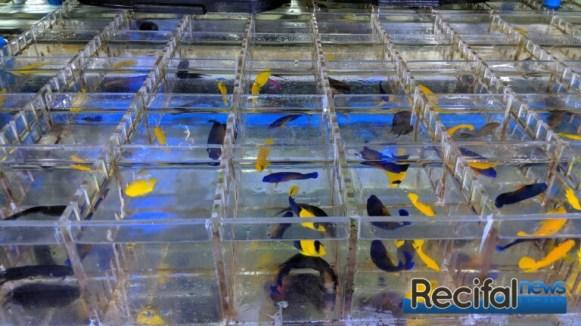 Les poissons sont séparés dans des cubes avant d'être expédiés.