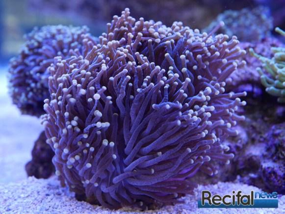 poisson-or-aquarium-recifal-euphyllia-glabrescens