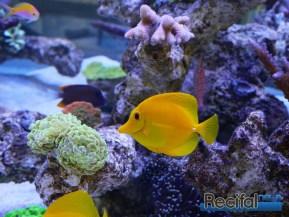 poisson-or-aquarium-recifal-flavescens