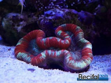 poisson-or-aquarium-recifal-trachy-rouge