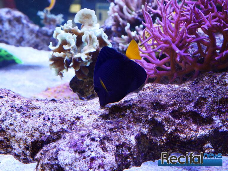 poisson-or-aquarium-recifal-xanthurum
