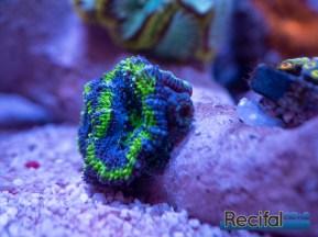 acanthastrea-miromussa-lordhowensis-vert-bleu-2