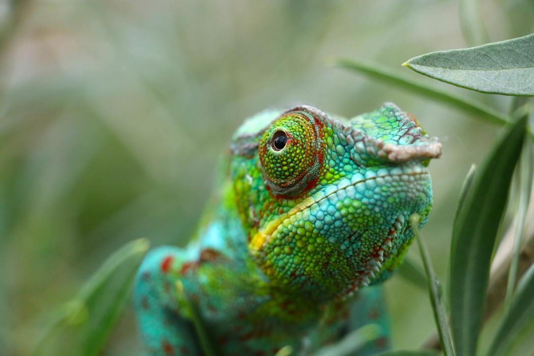 Chameleon - pierre-bamin-Unsplash