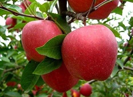 Apple - Recipesnama