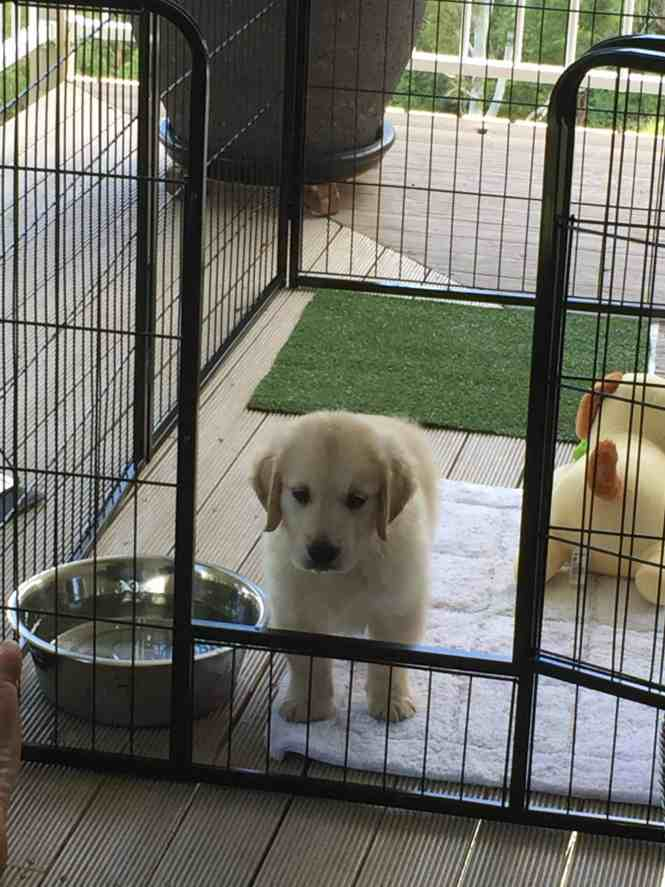 Cooper standing inside his play pen on his first day in his new home