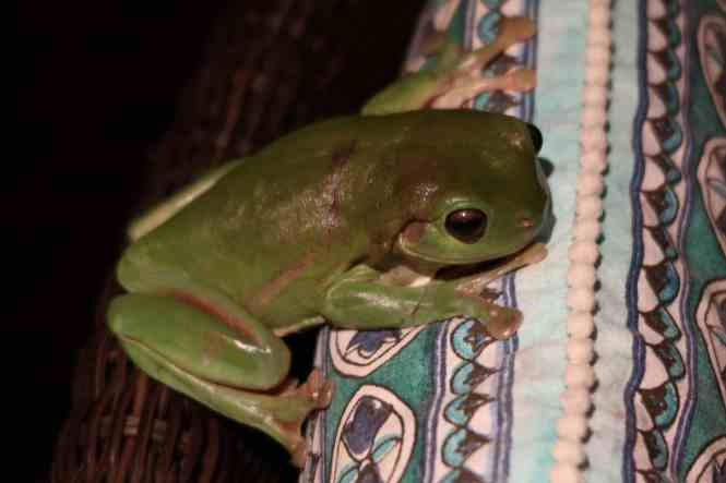 Australian green tree frog on a chair