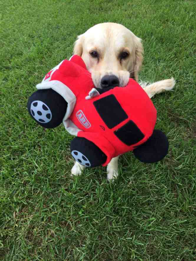 COOper the golden retriever with a stuffed toy car in his mouth