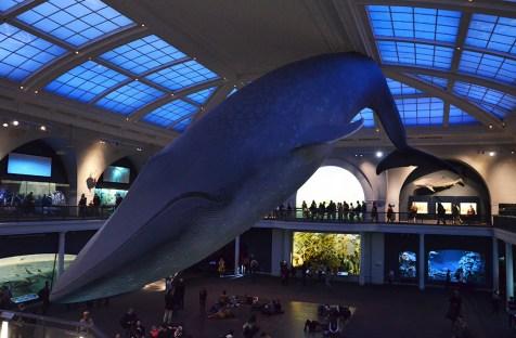 Maquette de la grande baleine bleue au Musée d'Histoire Naturelle de New York