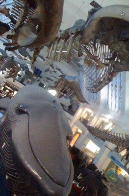 Salle des baleines, Musée d'Histoire Naturelle, Londres