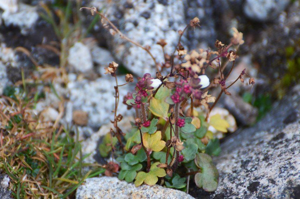 Petites fleurs du Svalbard