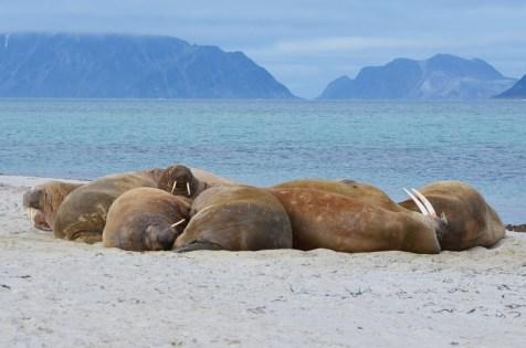 Banc de morses qui se prélasse les uns sur les autres sur une petite plage, Spitzberg