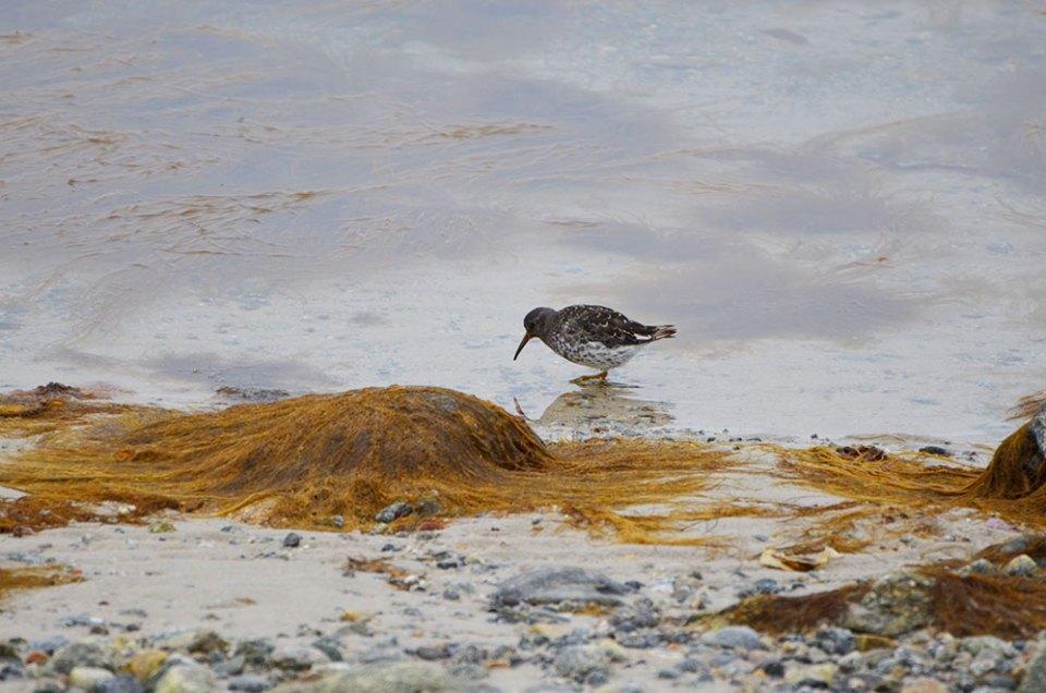 Oiseau gris au long bec qui mange des petites choses dans l'eau, Svalbard