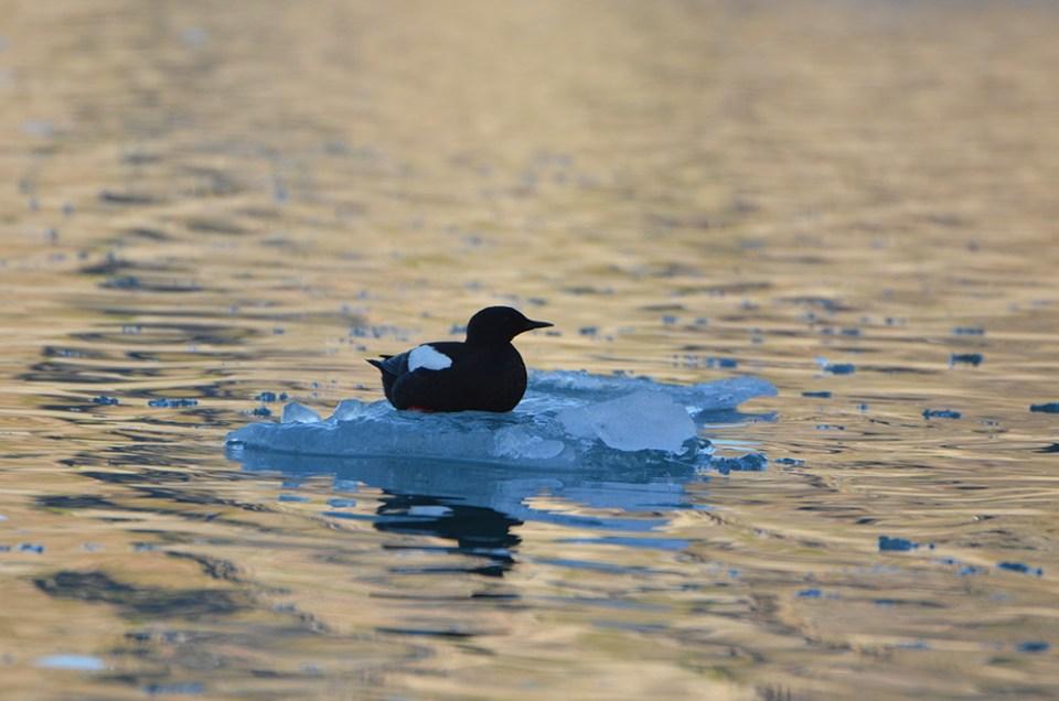 Oiseau noir perché sur un glaçon de l'océan arctique, Svalbard