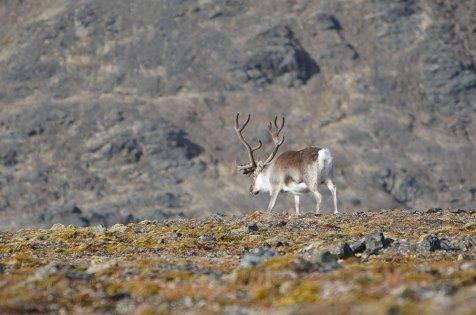 Renne sauvage du Svalbard