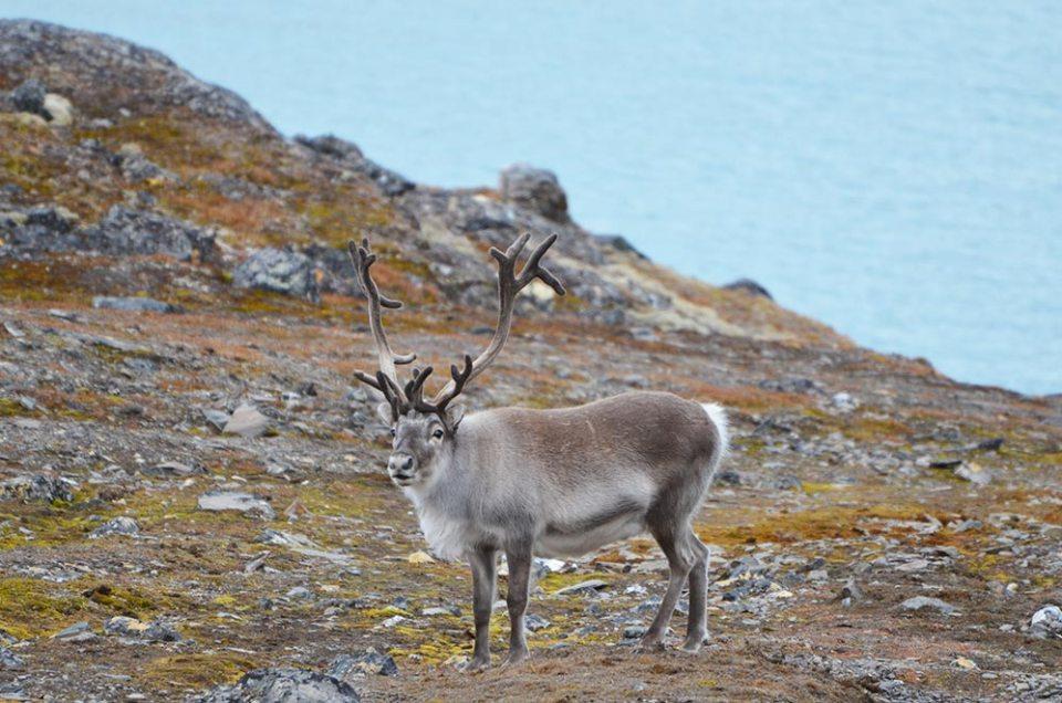 Un renne nous regarde, Svalbard