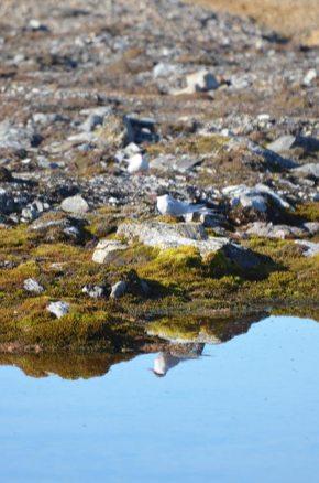 Une sterne arctique se reflète dans l'eau, Svalbard
