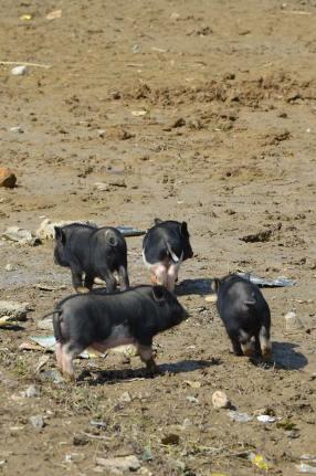 Cochons dans la boue, Sapa, Vietnam